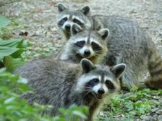Three Raccoon by Jean Gregory Evans ~ one of my all-time favorite critters. Animals And Pets, Baby Animals, Cute Animals, Wild Animals, Reptiles, Mammals, Beautiful Creatures, Animals Beautiful, Pet Raccoon