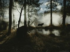 Gray Wolf, Canis Lupus, in Silhouette Passes By a Woodland Pond   Jim and Jamie Dutcher