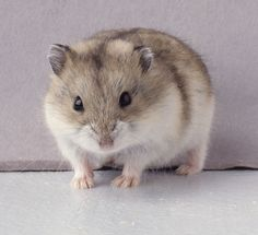 WINTER WHITE HAMSTER –With all of the pets out there, making the right choice can sometimes take some time, effort, and research. After all, even if you are familiar with all kinds of pets, the various kinds of options within the certain realm of pets can be overwhelming to the best of us. Such is ... Read more