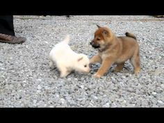 SHIBA INU puppies, all colors.