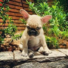 """""""I came out here to do something, but now I can't remember what"""", confused French #bulldog Puppy ; ) #buldog #frenchbulldogpuppy"""