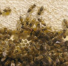 Queen Bee - with the red spot