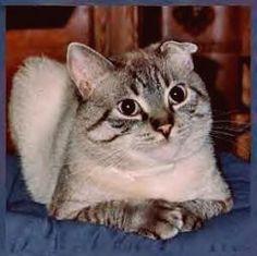 Cat Ear Mite Symptoms and Treatment