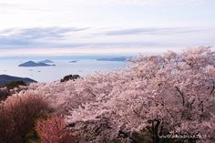 浦島太郎が玉手箱をあけ、紫色の煙が雲になって山にかかったという言い伝えが残る、紫雲出山(しうでやま)。荘内半島の中央にあり、桜の名所としても有名です。瀬戸内海と約1000本の桜が同時に見える山頂はまさに絶景スポット!青空と桜の組み合わせも素敵ですが、ピンク色に空が染まる頃は何ともロマンチックな雰囲気です。