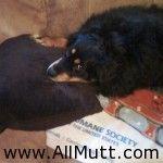 Chow Chow Rottweiler Mix picture Rottweiler Mix, German Shepherd Mix, Chow Chow, Puppies, Cubs, Pup, Newborn Puppies, Puppys, Doggies