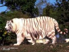 Fat albino tiger