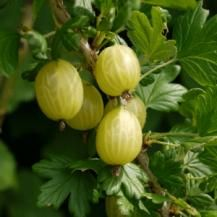 How to Grow Gooseberries. Planting a selection of varieties will give you berries from late spring to late summer