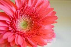orange pink daisy