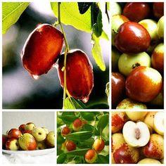 【食缘阁】  最不起眼的六种全能素食之鲜枣 鲜枣脆嫩汁多,风味独特,鲜枣的多种营养素含量均居首位,如维生素C、钾、镁等。 1、鲜枣富含维生素C,每百克含量高达200~500毫克,高于猕猴桃60~200毫克的含量。维生素C可软化血管、预防高血压、冠心病和动脉硬化。 2、鲜枣还含有丰富的功能活性成分,如类黄酮、芦丁以及多糖类,有改善血脂、降胆固醇、降血压的作用。 提醒:鲜枣最好生吃,利于营养吸收。干枣适合煮粥或煲汤,有助于营养成分释放出来。枣吃多了可能引起腹胀,鲜枣每天吃一两把为宜。此外,鲜枣含糖量高达20~30%,吃枣后应适当少吃几口主食,避免热量过剩,糖尿病患者更应该注意这点。 文字来源:佛教素食网; 图片来源:网路 www.facebook.com/putishihua
