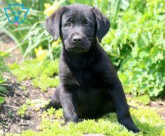 Rylie | Labrador Retriever - Black Puppy For Sale | Keystone Puppies Black Puppy, Black Lab Puppies, Labrador Retriever, Best Pal, Puppies For Sale, Lancaster Pennsylvania, Labradors, Dogs, Animals