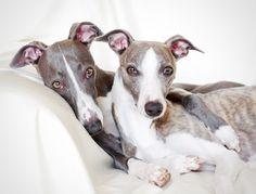 Windhunde - Hundeeuphorie - Onlineshop für Hundezubehör