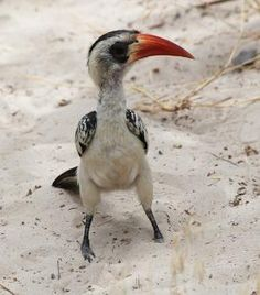 The Red-billed Hornbills are a group of hornbills found in savanna and woodland of sub-Saharan Africa by manuela