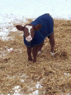 This is the cutest thing I have ever seen! Cute Baby Cow, Baby Cows, Cute Babies, Hereford, Cattle, Calves, Cute Animals, Horses, Farming