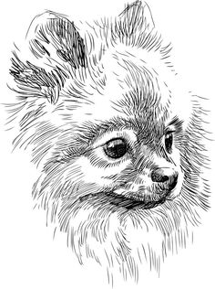 Pomeranian Puppy Sketches Stock Photography: Portrait of cute dog Animal Sketches, Animal Drawings, Art Sketches, Art Drawings, Sketches Of Dogs, Drawing Heads, Painting & Drawing, Animals Watercolor, Illustration Art Dessin