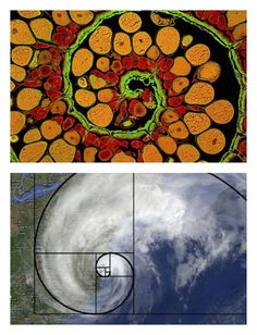 Math/Art/Science: Golden Ratio for Kids, from Artchoo (Maybe I would have understood this better in school if I had seen this comparison in my math class. Math Art, Science Art, Spirals In Nature, Fibonacci Spiral In Nature, Maths In Nature, Steam Art, Arts Integration, Golden Ratio, Math For Kids