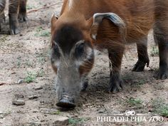 Red river hogs are good swimmers - they can even dive and swim short distances underwater. This moment was captured by Camera Club Member Jeff Linder.