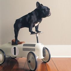 """I've seen the Future, and it's Mine"", French Bulldog on a speedster."