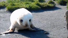 Baby Albino Seal Playing On The Beach