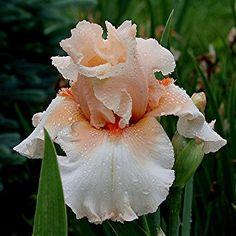 Iris Blushing Bashful