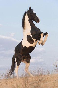 Pinto horse rearing.