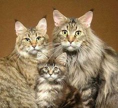 Family Portrait! I would like to have a family like that of cats! Gorgeous. http://www.mainecoonguide.com/where-to-find-free-maine-coon-kittens/