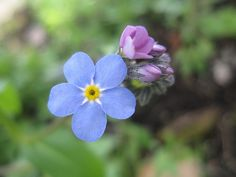 Forget Me Not - Blue