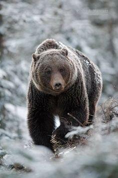 Big grizzly in Banff. Amur Leopard, Snow Leopard, Big Teddy Bear, Polar Bear, We Bear, Bear Pictures, Mountain Lion, Siberian Tiger, Animal Fashion