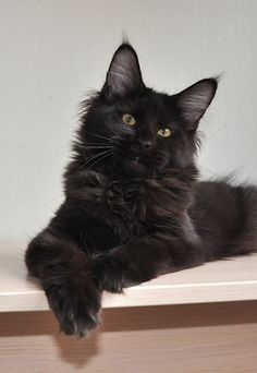 black forest coon cat