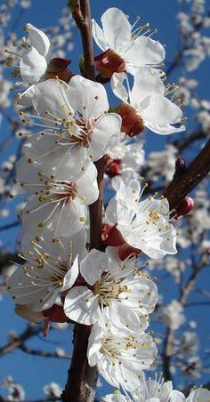 White Flowers, Beautiful Flowers, Cherry Flower, Blooming Trees, Peach Blossoms, Flower Wallpaper, Fruit Trees, Dream Garden, Flower Power