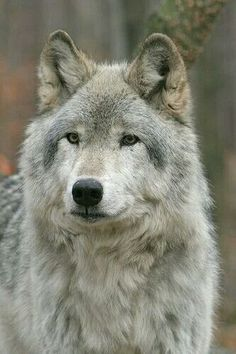 Silver wolf... reminds me of faolan #wolfinnature