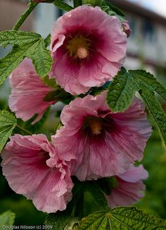 hollyhocks we used to make hollyhock dolls!