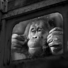 Behind Glass, black and white photographs of primates Nanette, Paris