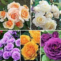 https://abekker.ru/ - Суперпредложение! Комплект роз флорибунда из 5-ти саженцев