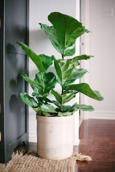 Easy To Grow Houseplants Clean the Air Fiddle Leaf Fig Want A Big-Impact Apartment Plant With Minimal-Impact On Your Time Expenditure To Keep It Thriving? Look No Further Than The Fiddle Leaf Fig, Which Can Grow Up To Tall In Indirect Light, With Twice Ficus, Green Plants, Potted Plants, White Plants, Green Garden, Cactus Plants, Plantas Indoor, Style Me Pretty Living, Apartment Plants