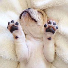 "Meet Milo, A Narcoleptic Bulldog Who Will Make You Say ""Awww"" | Bored Panda"