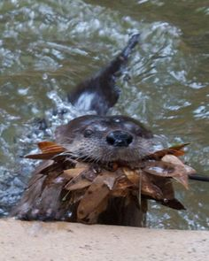 Otters gather leaves to make a nest/bed.