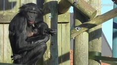 Chimpanzee Mother Is Giving Her Baby A Helping Hand
