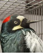 Pepper, an Acorn Woodpecker arrived as a young bird to the Project Wildlife Triage Center in 2009. Due to her poor health and an unfortunate series of events, she lost the upper part of her beak, breaking it off so close to her face that it will not re-grow. Pepper needs to be on a modified diet and cannot be released into the wild. Despite having half a beak, she still happily pecks at wood and forages in her enclosure for her favorite acorns, cleverly hidden by her caregiver.