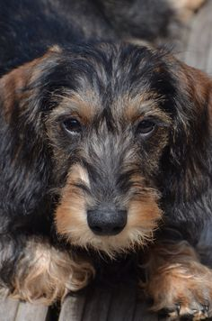 Meet Vic my wire haired dachshund. He is the cutest and smartest dog of the universe :-)