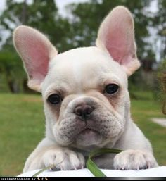 So adorable - I would love to have a French Bulldog someday