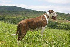 Gabrielle www.americanbulldog.co.za Blue American Bulldog, Marina Blue, Bull Dog, South Africa, Pup, Fitness, Animals, Animales, Animaux