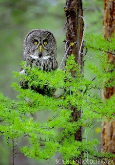 Great grey owl - Stock Image Z836/0034 - enlarged - Science Photo ...