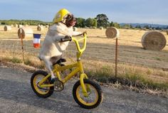 Why it brings the smiles: Jenny the pug is an inspiration to us all. Go out, get on your bike, and chase your dreams. Don't let anything stop you, even if it's your lil' pug legs. Amor Pug, Cute Dogs Breeds, Puppy Breeds, Funny Dogs, Funny Animals, Cute Animals, Funny Puppies, Pug Photos, Fu Dog