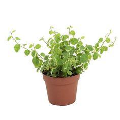 Ficus Pumila White Sunny : pot de diamètre 12 cm