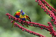 Featured Art - Rainbow Lorikeet Trichoglossus by Konrad Wothe