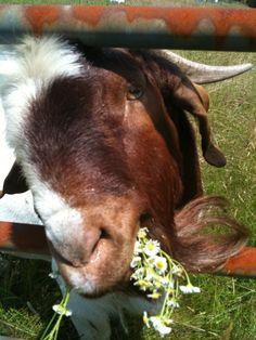 Floyd Eames' goat