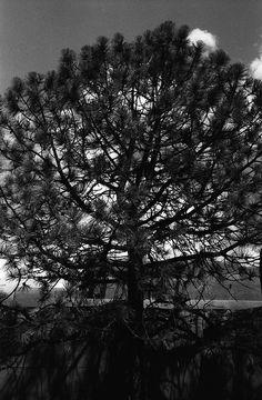 Tree, Santa Fe