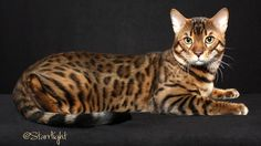bengals cats | ... for Bengal Cat breeders, Bengal kittens, and Bengal breed information