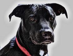 Dog paintings - How to Paint Black Hair Animals (Dog) White Dogs, Black Dogs, Dog Teeth, Dog Paintings, Dog Tattoos, Watercolor Animals, Dog Portraits, Dog Photos, Dog Art
