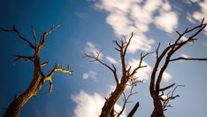 Pan, tilt and linear timelapse of an abstract dead Acacia tree shooting up from a low angle against a blue sky with clouds moving past. Low Angle, Sky And Clouds, Acacia, Tilt, Hd Video, Stock Footage, Royalty, Abstract, Blue